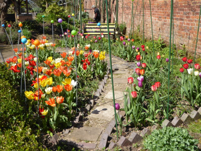 A great display of tulips in the sensory garden