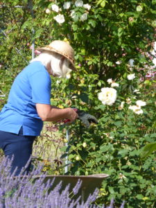 Julie hard at work dead-heading the roses.