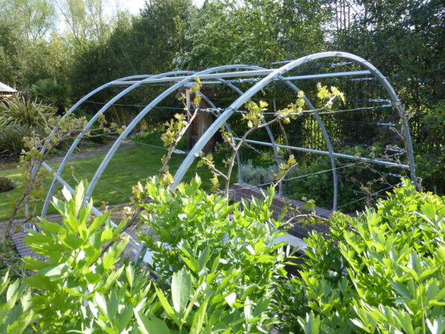 The new vine tunnel in the sensory garden